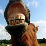 dentes dos cavalos