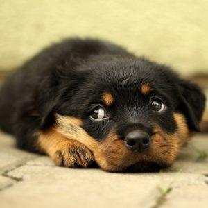 Cinomose canina
