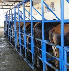 Palpação retal em bovinos