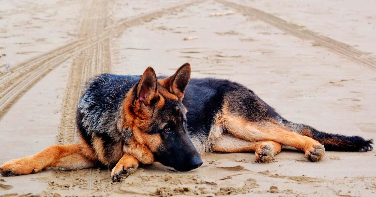 Displasia Coxofemoral em Cães conheça mais essa doença