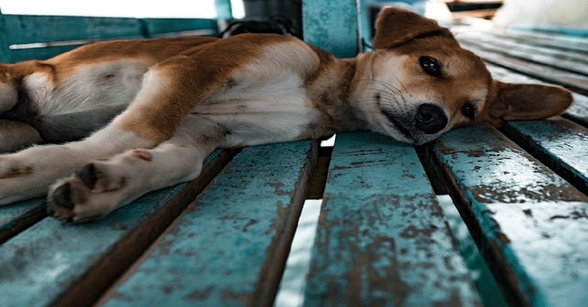 hernia umbilical em cães