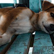 Hérnia umbilical em cães