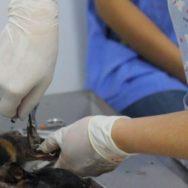 Ortopedia em pequenos animais Área com grande demanda por profissionais aptos!