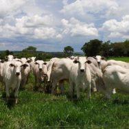 Castração bovina