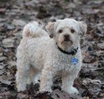 Hiperadrenocorticismo em cães