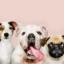 Hemorragia interna em cães