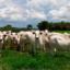 Rebanho-bovino-conheça-as-principais-doenças-que-acometem-a-criação