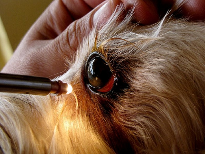 olhos vermelhos em cães e gatos