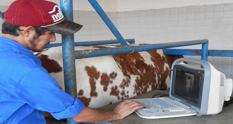 Gestação bovina
