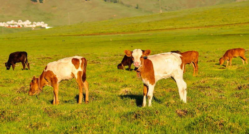 enterotoxemia em bovinos