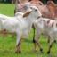 Doenças reprodutivas em bovinos: conheça as principais