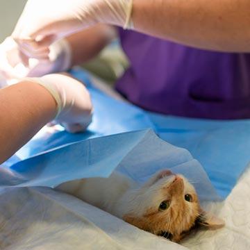 Risco anestésico veterinário conheça a classificação e os fatores