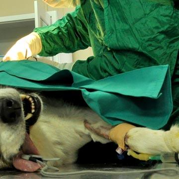 Uretrostomia em cães tipos e recomendações