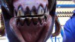 Dentes incisivos equinos conheça as principais alterações