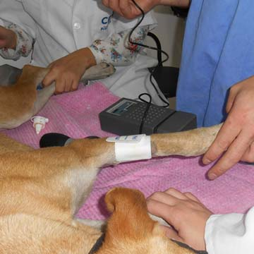 Mensuração da pressão arterial em pequenos animais: métodos invasivos e não-invasivos