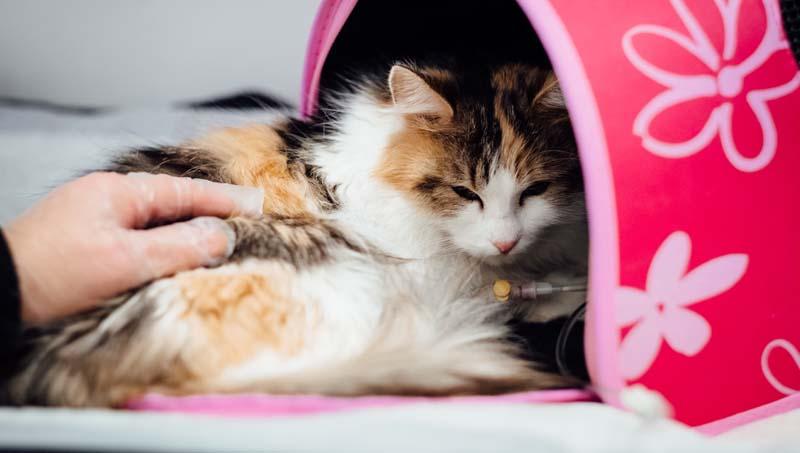 Triagem do paciente crítico veterinário seu papel no pronto atendimento a pequenos animais